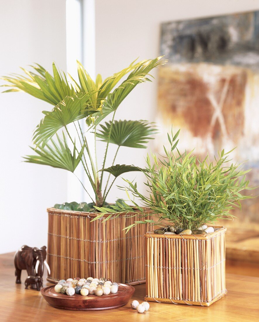 Livistonia and potted bamboo in decorative containers
