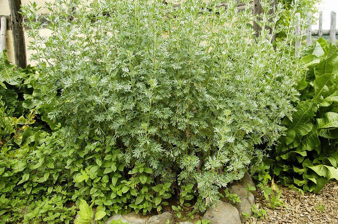 Wormwood in herb garden