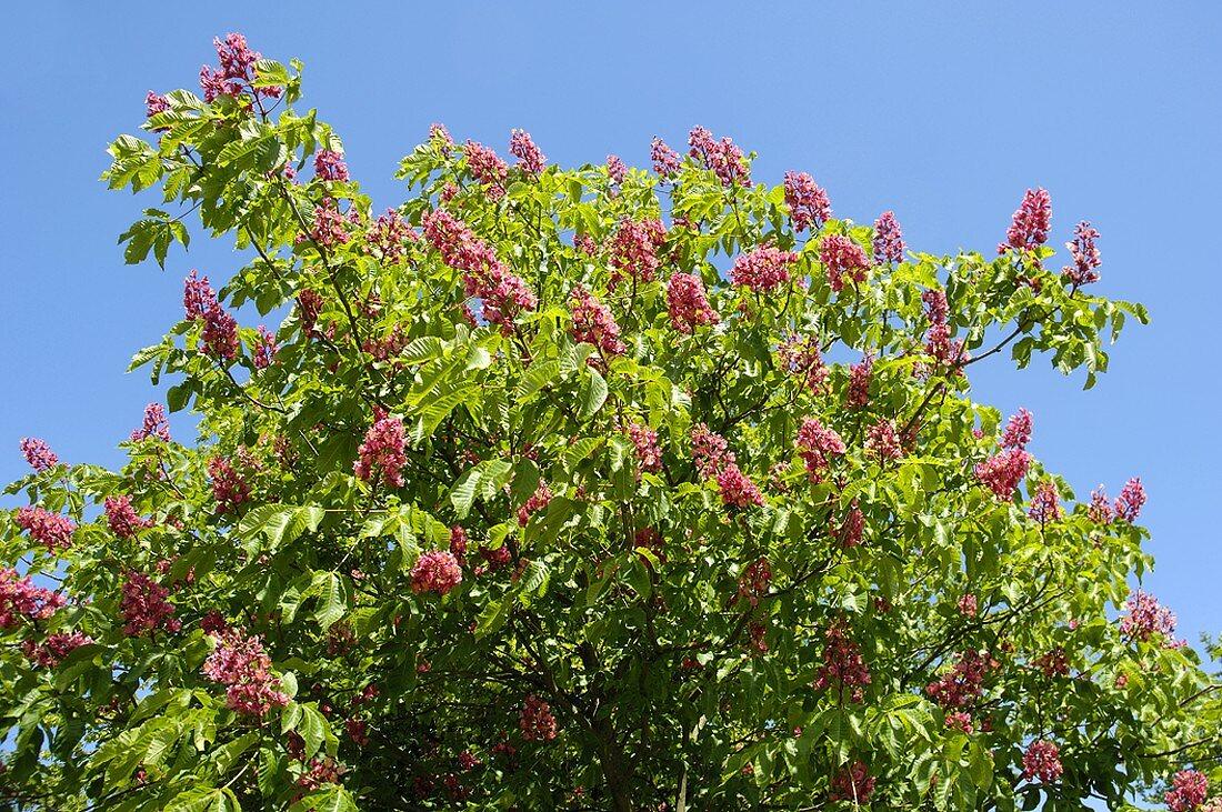 Flowering red horse chestnut