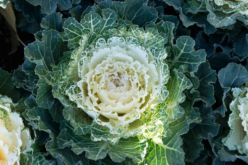 Green and white ornamental cabbage
