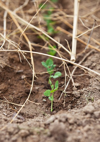 Small Green Pea Plants Sprouting in a Garden