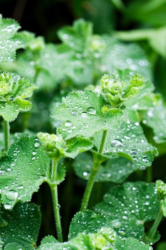 Dewdrops on lady's mantle in garden