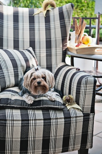 Yorkshire terrier on upholstered armchair on terrace