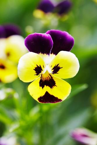 Viola flower