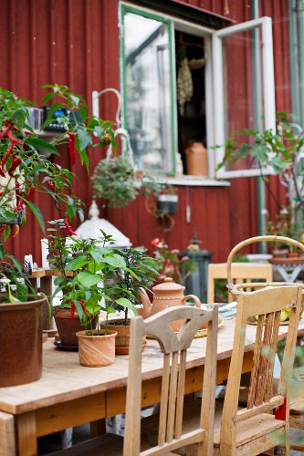 Old wooden chairs around table holding various potted plants in front of wooden house