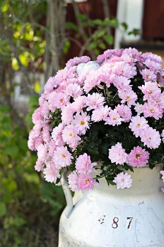Pale violet chrysanthemums in vintage milk churn