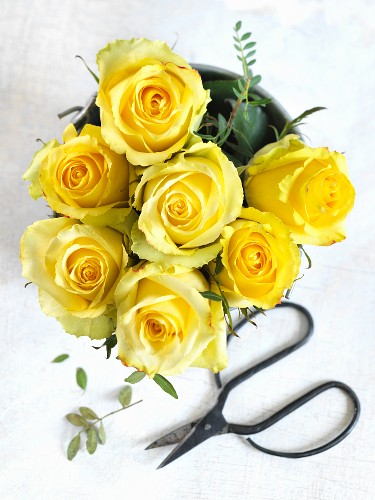 Yellow roses and Japanese shears