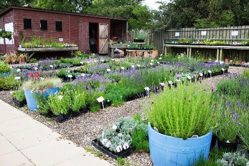 Flowering lavender in nursery in Yorkshire, England