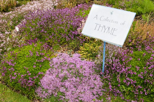 Violett blühender Thymian