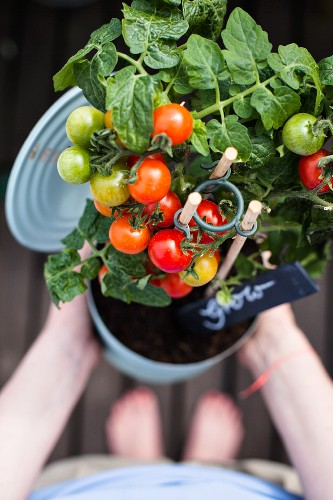 Woman holding tomato plant planted in large tin can