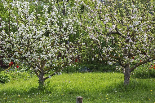 Blossoming apple trees in garden