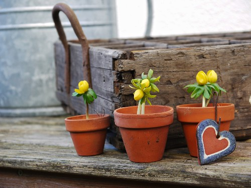 Ranunculus in clay pots in front of rustic wooden crate