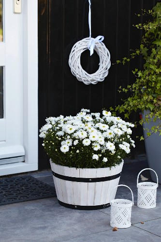 Asters 'Aspatio white' in plant pot by front door
