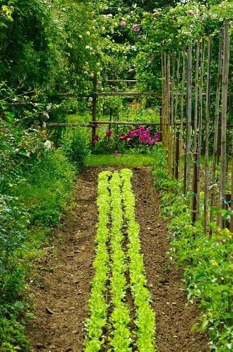Bed of lettuce, runner beans and rose bushes in garden