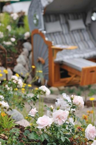 White flowering rose bush next to wicker beach chair in garden