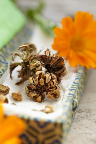 Pot marigolds: fresh flowers and dried heads for saving seeds