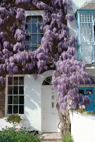 Flowering wisteria climbing up brick house façade