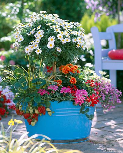 Argyranthemum (marguerite strain)
