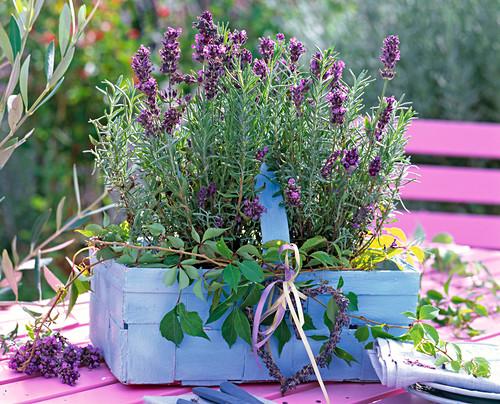 Lavandula 'Hidcote Blue' (lavender) in a blue chip basket