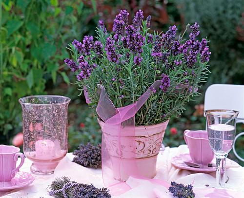 Lavandula 'Hidcote Blue' with pink gauze ribbon in pink flower pot