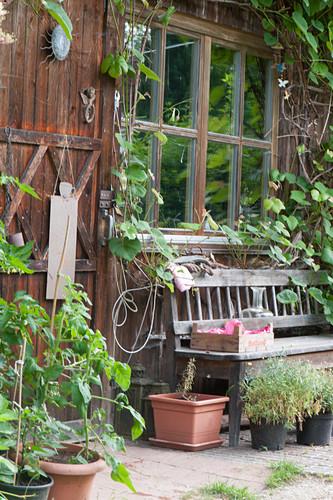 Wooden bench at garden house, grapevine (common grape vine)