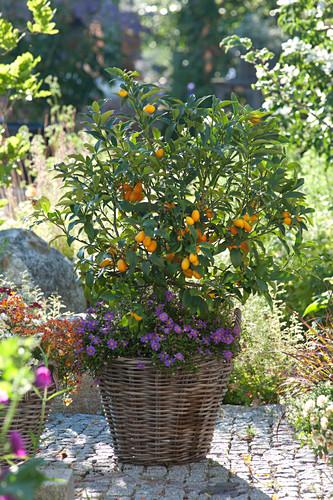 Fortunella japonica (Kumquat) and Brachyscome 'Brasco Violet'
