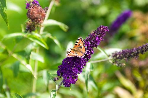 Butterfly on purple buddleia