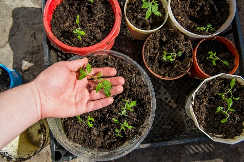 Hand of person checking tray of seedlings