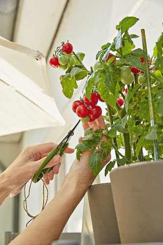 Tomatoes being picked on a balcony