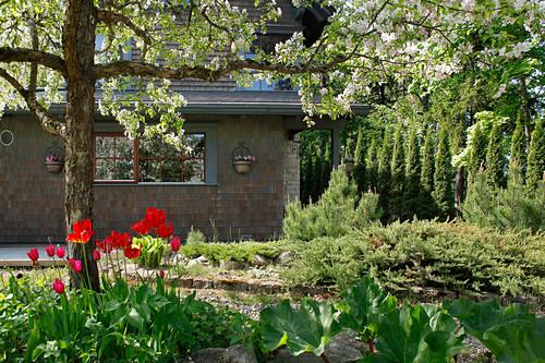 Tulips flowering under flowering tree in garden with house in background