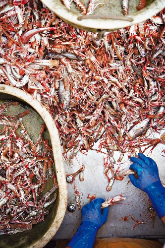 Freshly caught Norway lobsters being sorted on the fishing boat 'Avel an Heol', France