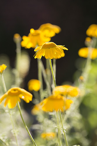 Yellow chamomile flowers
