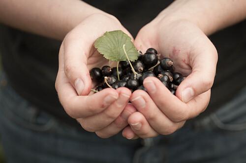 Blackcurrants held in cupped hands