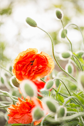 Flowers and buds of Oriental poppy 'May queen'