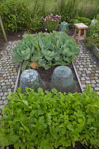 Glass cloches and savoy cabbage in vegetable patch