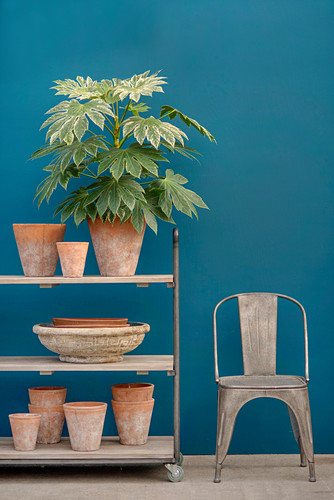 Aralia and terracotta pots on trolley against blue wall