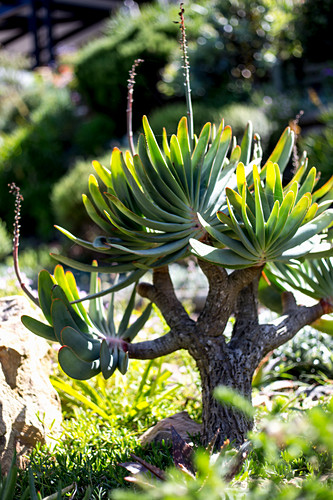 Tree-shaped succulent