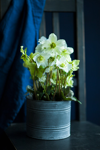 Potted hellebore