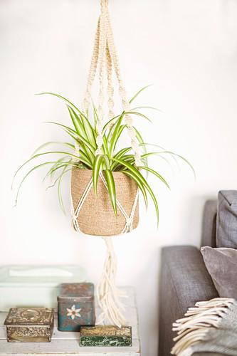 Spider plant in macrame plant holder