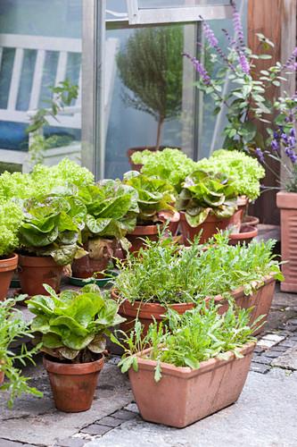 Various types of lettuce in terracotta pots on terrace