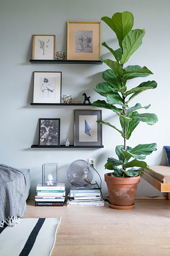 Fiddle leaf fig next to gallery of pictures on picture ledges