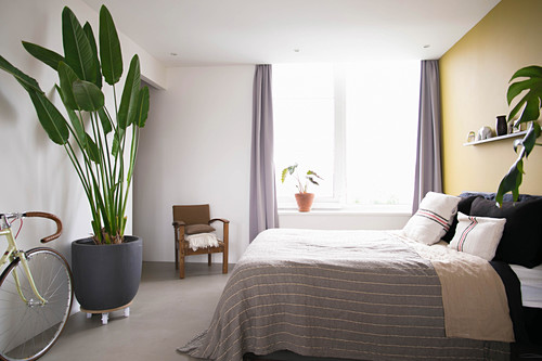 Giant bird of paradise plant in simple bedroom