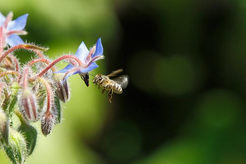 Honeybee Approaching Borage Blossom
