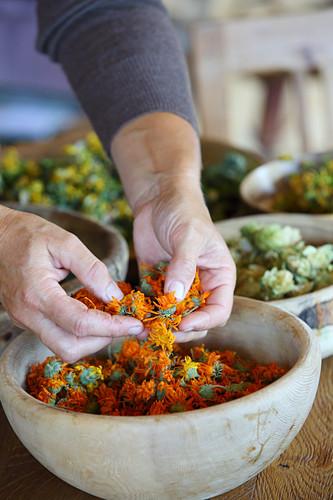 Getrocknete Ringelblumen fallen durch Frauenhände in eine Schale