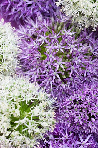 White and purple allium flowers