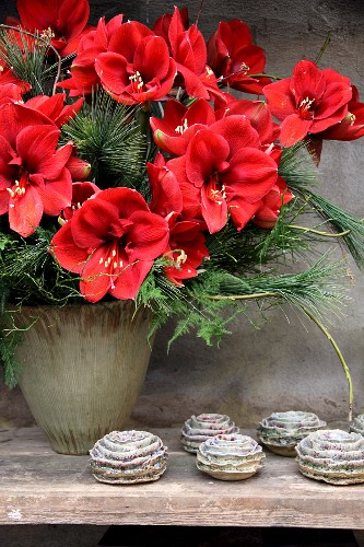 Winter bouquet of amaryllis and pine branches