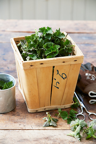 Fresh nettle leaves in chip-wood box