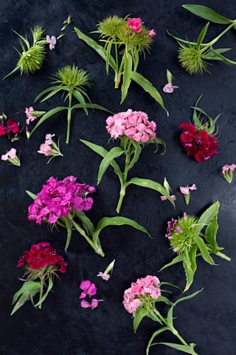 Sweet Williams (Dianthus barbatus) on dark surface