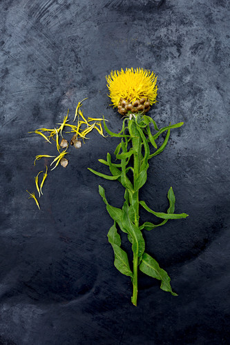 Giant knapweed (Centaurea macrocephala) on dark surface