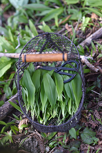 Freshly picked ramsons and herb scissors in wire basket